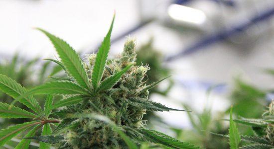 cannabis-4537402_1920